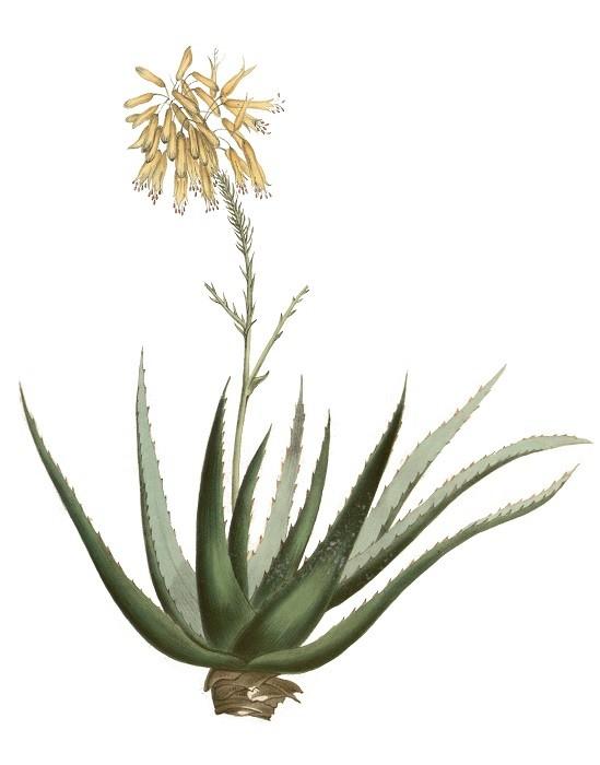 Het plantenplan: Aloë Vera