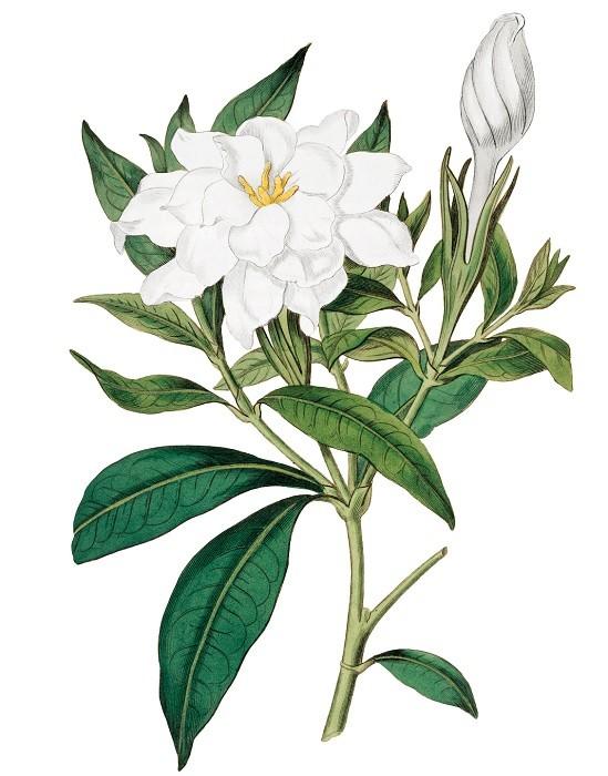 Het plantenplan: Gardenia