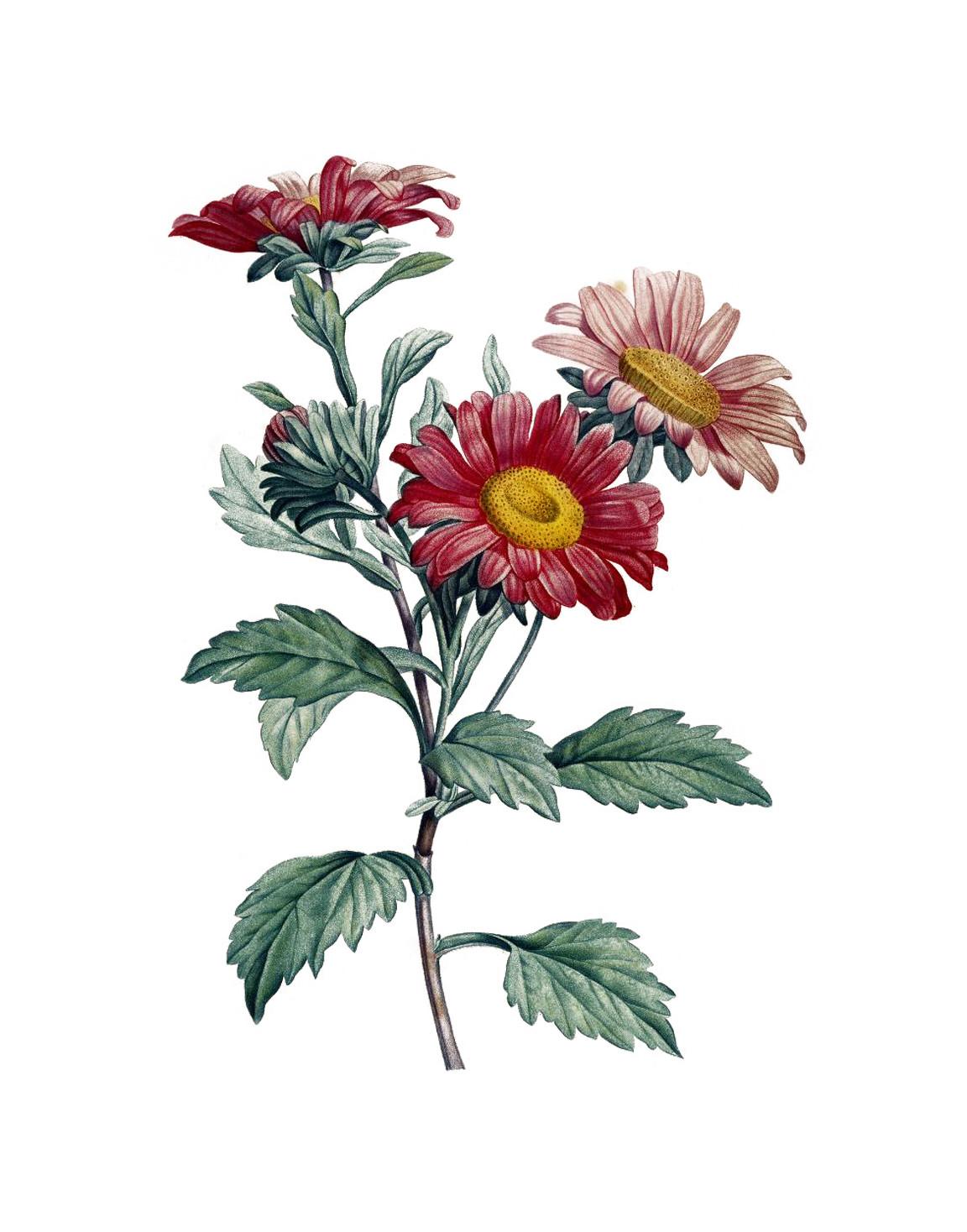 Gerbera botanisch