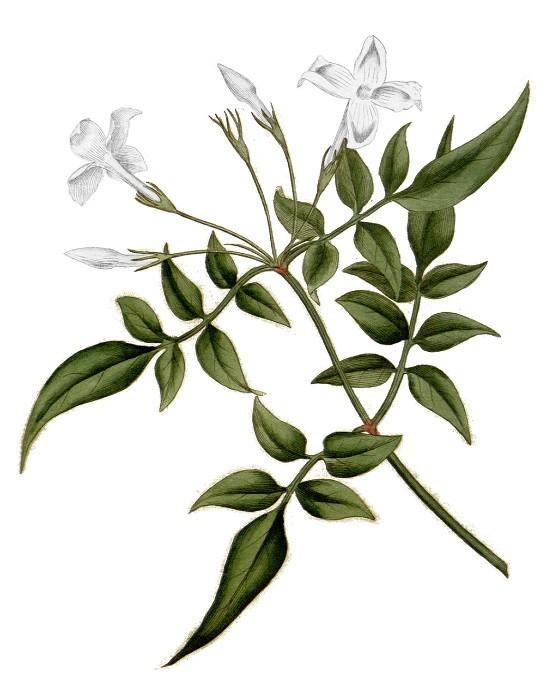 Het plantenplan: Jasmijn