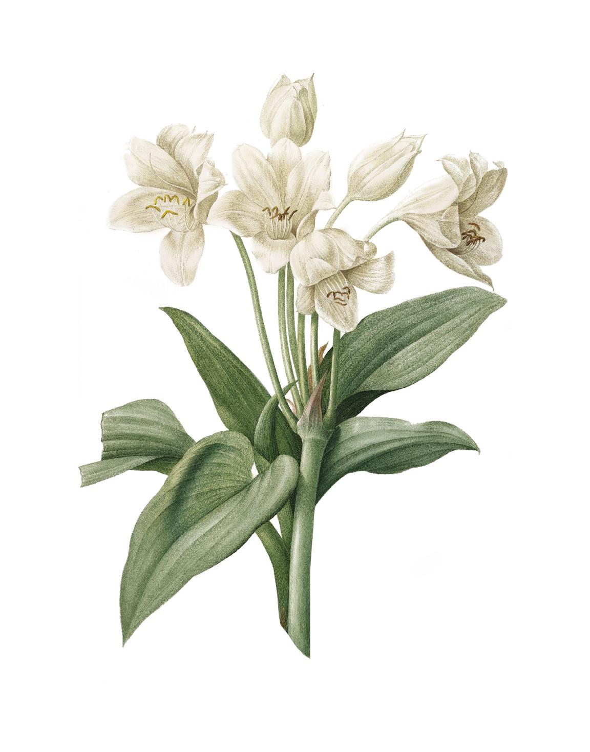 Lelie botanisch