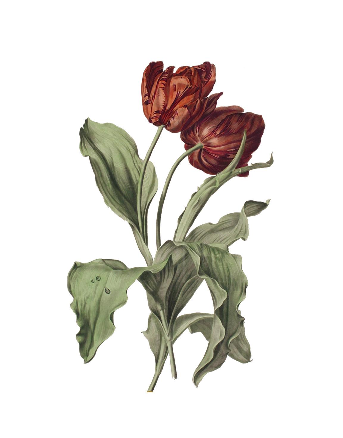 Tulp botanisch